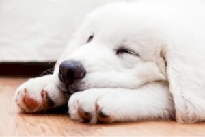 Augmentin for Dogs